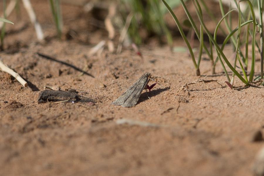 Rush Vaneer Nomophila noctuella.