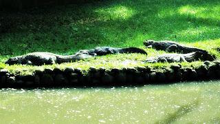 Jacarés-de-papo-amarelo no Parque Zoológico de Sapucaia
