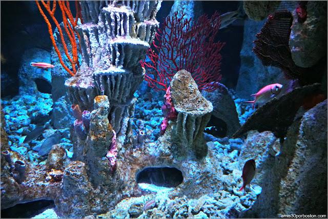 Arrecifes de Coral en el Acuario de Boston