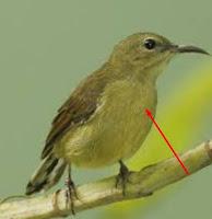 6 Trik Jitu Untuk Membedakan Jantan Dan Betina Burung Kholibri Trotolan
