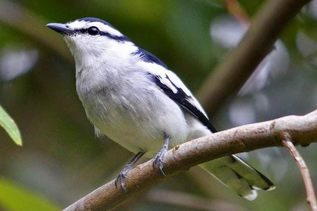 Foto Burung Kapasan Jantan