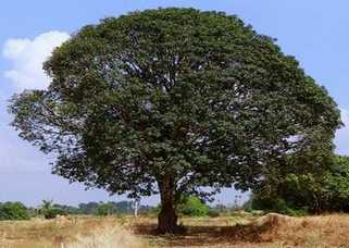 Old and mature mango tree