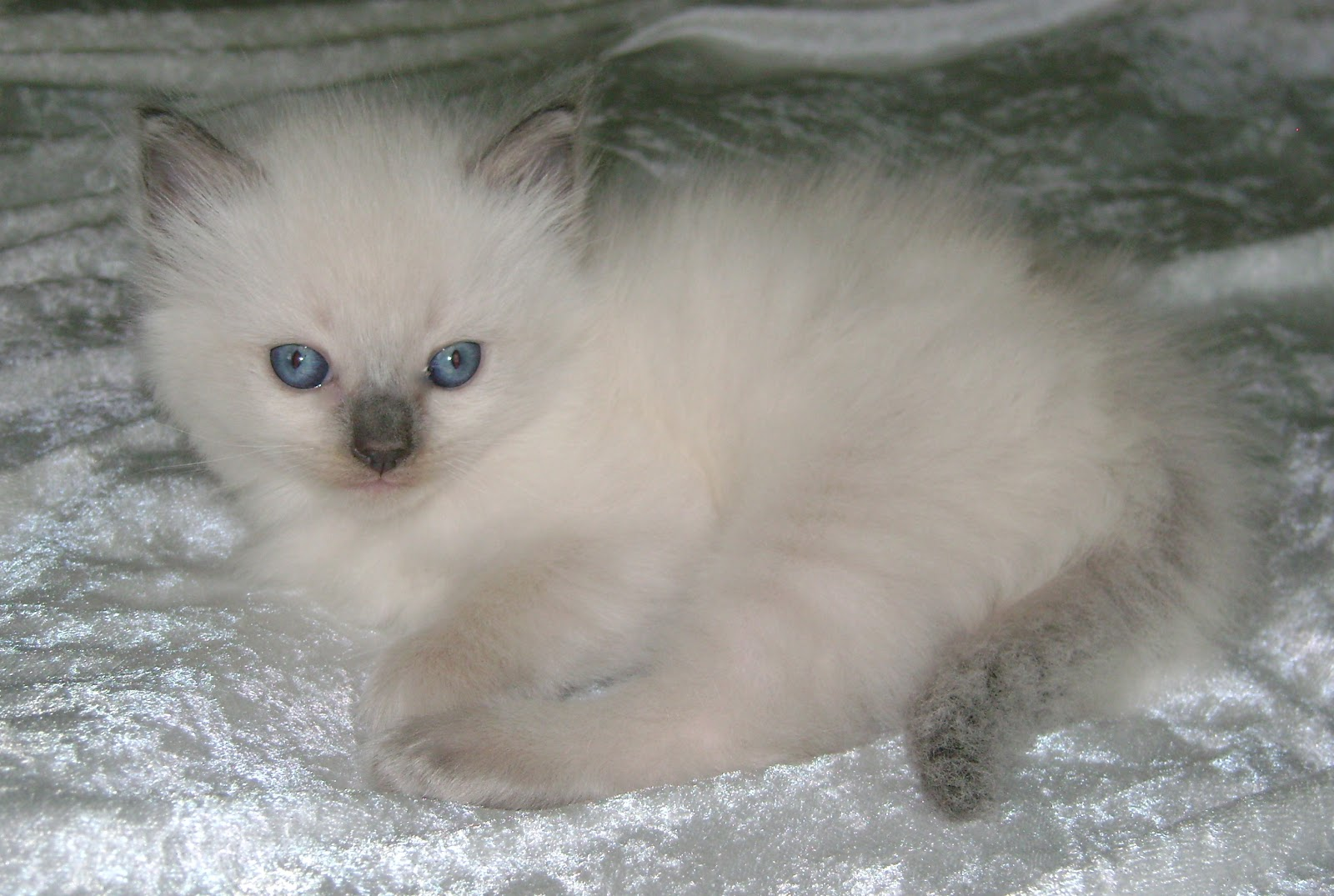 Ragdoll Cute Cats Cute Cats