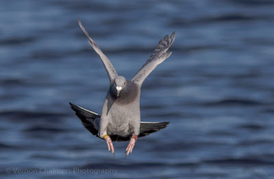 Image 2: Rock Pigeon in Flight over the Diep River, Woodbridge Island