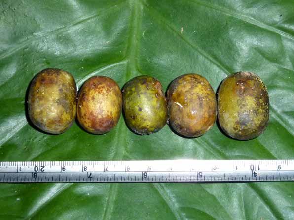 Quả Xoan Nhừ (Xoan Rừng) - Choerospondias axillaris - Nguyên liệu làm thuốc Đắp vết thương Rắn Rết cắn