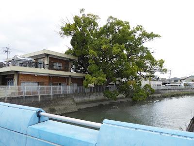 稗島のクス(三庄橋からの眺め)