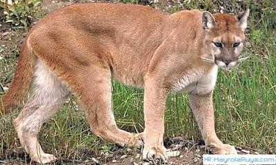 Rüyada Puma Görmek ile alakalı tabirler, Rüyada görmek ne anlama gelir, nasıl tabir edilir? Rüya tabirlerine göre ve dini rüya tabirlerinde anlamı tabiri nedir