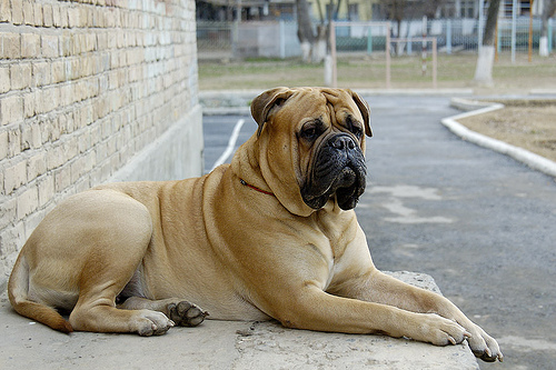 Bullmastiff dogs - Pets Cute and Docile