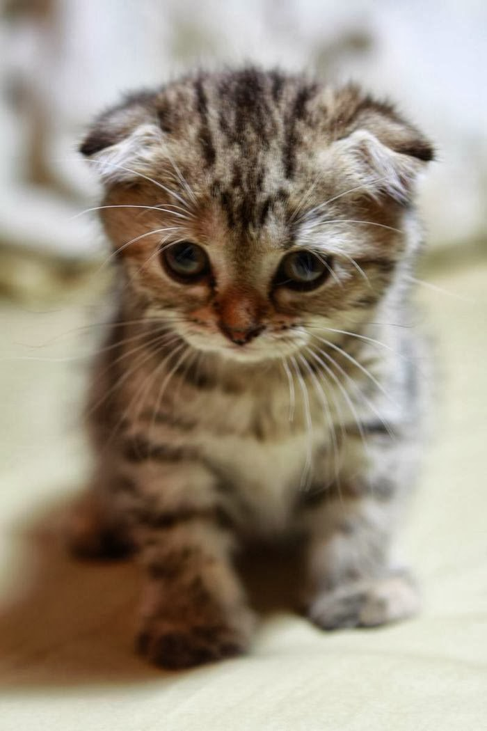 Scottish Fold Cat Litter Size - Annie Many