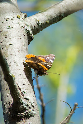 Red Admiral, LLELA