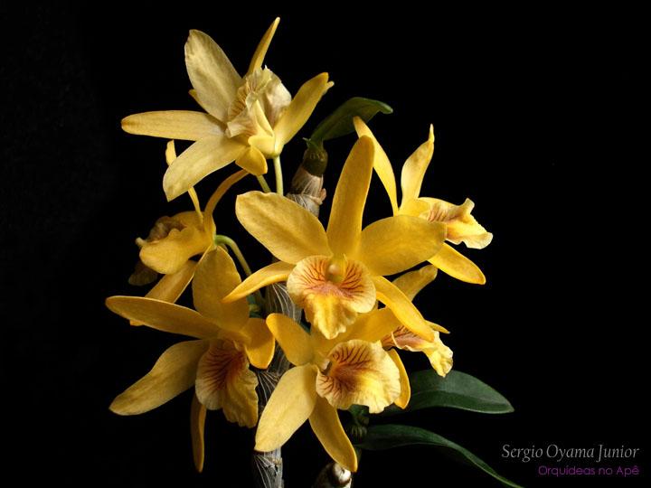 Orquídea Dendrobium Stardust 'Chiyomi'