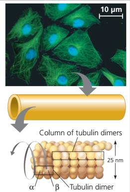 Mikrotubulus adalah, sub unit penyusun mikrotubulus, tubulin, α- tubulin β- tubulin, Sitoskeleton (cytoskeleton)