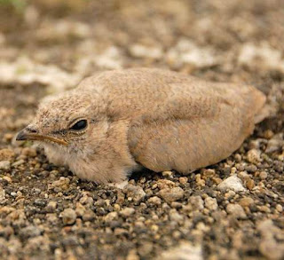 Glareola lactea chick