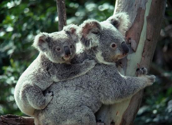 10 Fakta Unik Tentang Hewan Koala