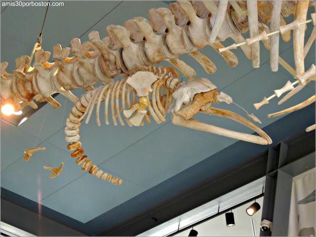 Esqueleto de Reyna en el Museo de las Ballenas de New Bedford