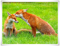 Fox Animal Pictures