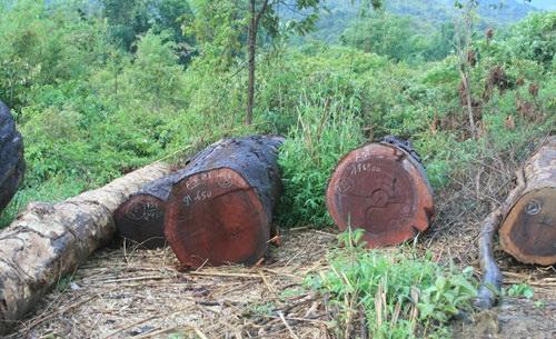 Gỗ gụ lau là gì? Ứng dụng gỗ gụ trong đồ gỗ mỹ nghệ