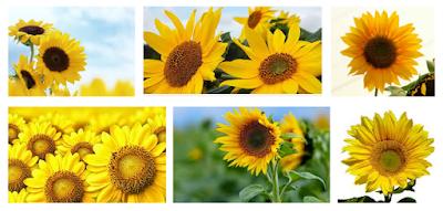 Cara Budidaya Bunga Matahari Dengan Mudah