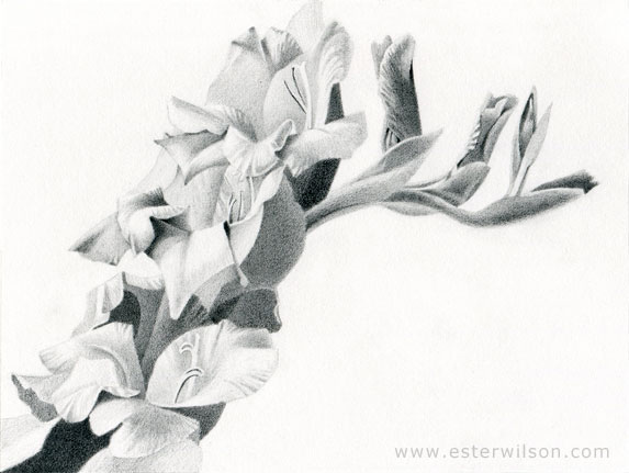 Daily Drawings By Ester Wilson Gladiolus Flower Drawing On
