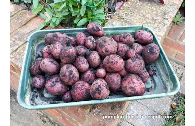Potato Red Duke York harvested
