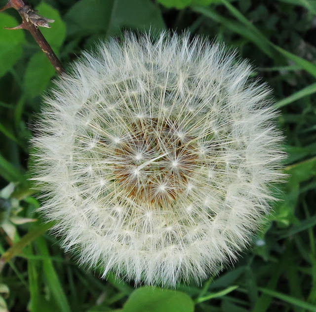 Close up of Dandelion Clock.