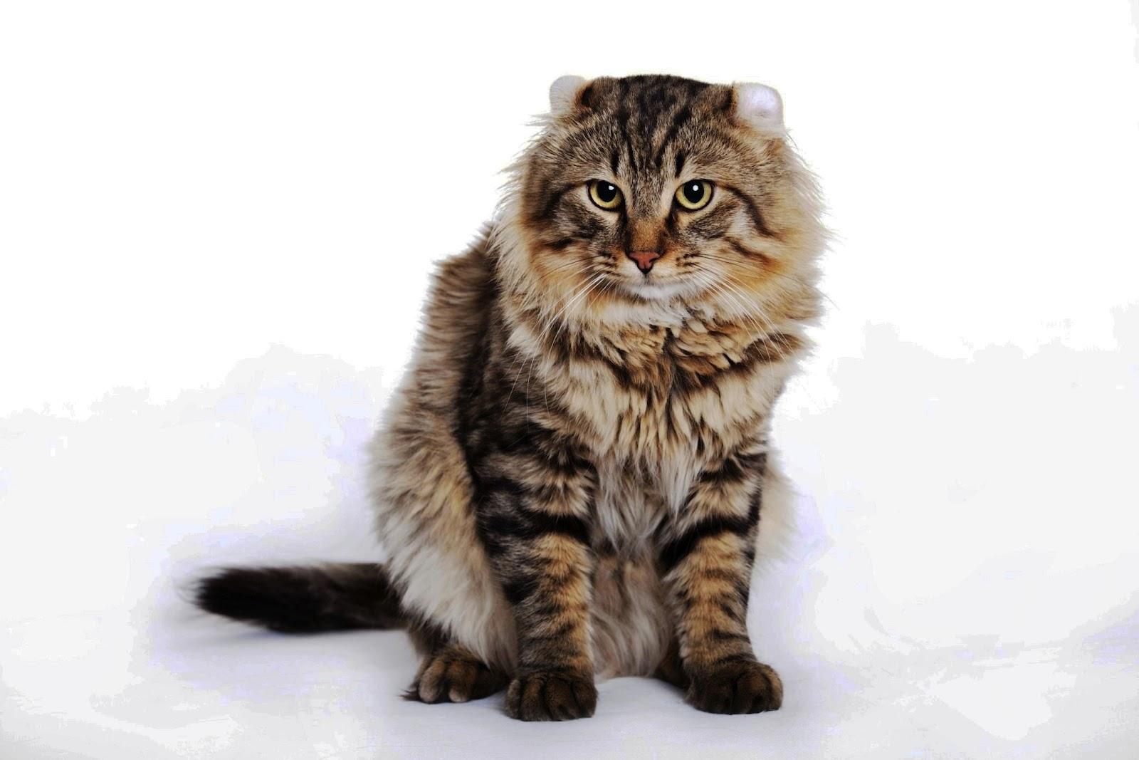 American-curl-cats-healthiana