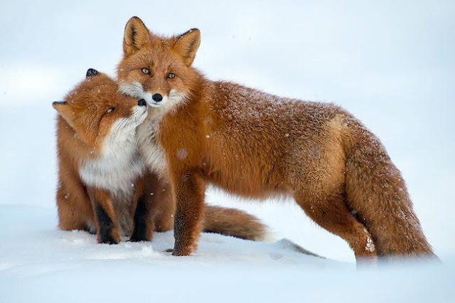 Ngắm nhìn các chú cáo xinh xắn nô đùa bên tuyết trắng