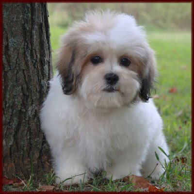Dog Blog Dog Breed Zuchon Dog Breed Pictures
