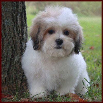Dog Blog Dog Breed Zuchon Dog Breed Pictures