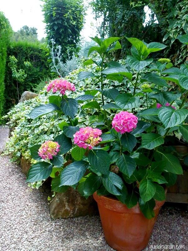 C mo cambiar de maceta una hortensia guia de jardin - Hortensias cuidados maceta ...