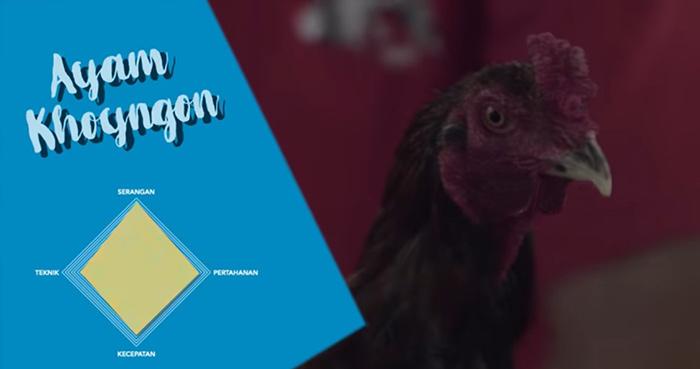 karakteristik ayam khoyngon