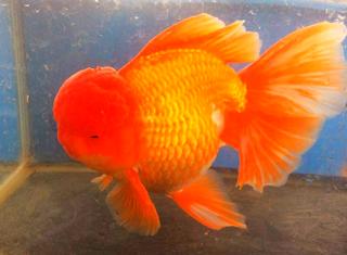 Gambar jenis ikan mas koki oranda