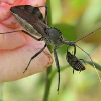 Cara Makan Serangga (Insecta) dan Makanan Serangga