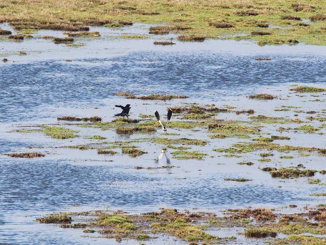 Kiebitz und Krähe im Überschwemmungsgebiet