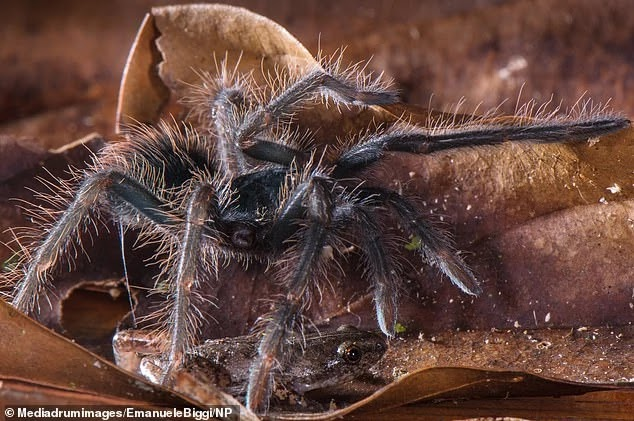 These Giant Tarantulas Keep Tiny Frogs As Pets In A Truly Bizarre Relationship
