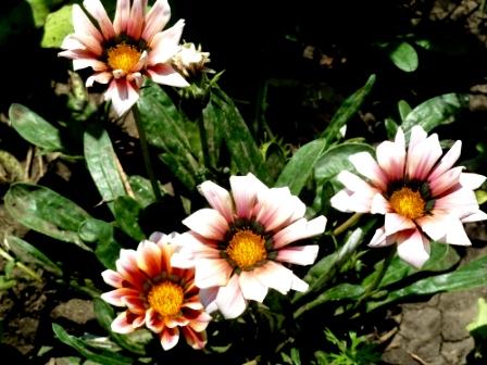 газания цветет