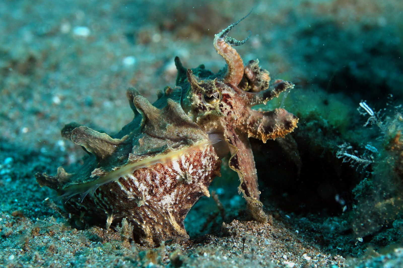 Real Monstrosities: Flamboyant Cuttlefish