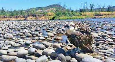 Rogue-river-Osprey