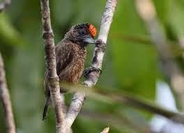 Carpinterito pardo overo: Picumnus varzeae