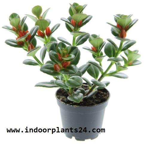 GOLDFISH PLANT COLUMNEA X BANKSII PLANT IMAGE