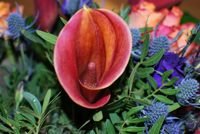 close-up-from-the-Teal-bouquet-of-the-mango-coloured-calla-lily