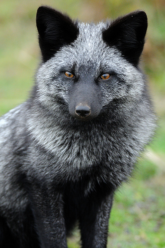 Just Another Static Heart: Animal Fun Fact: Silver Fox
