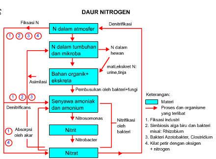 skema daur nitrogen dan penjelasannya