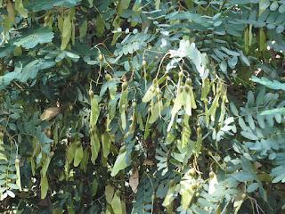 מיכנף נאה - שם העץ לפי צורת הפרי