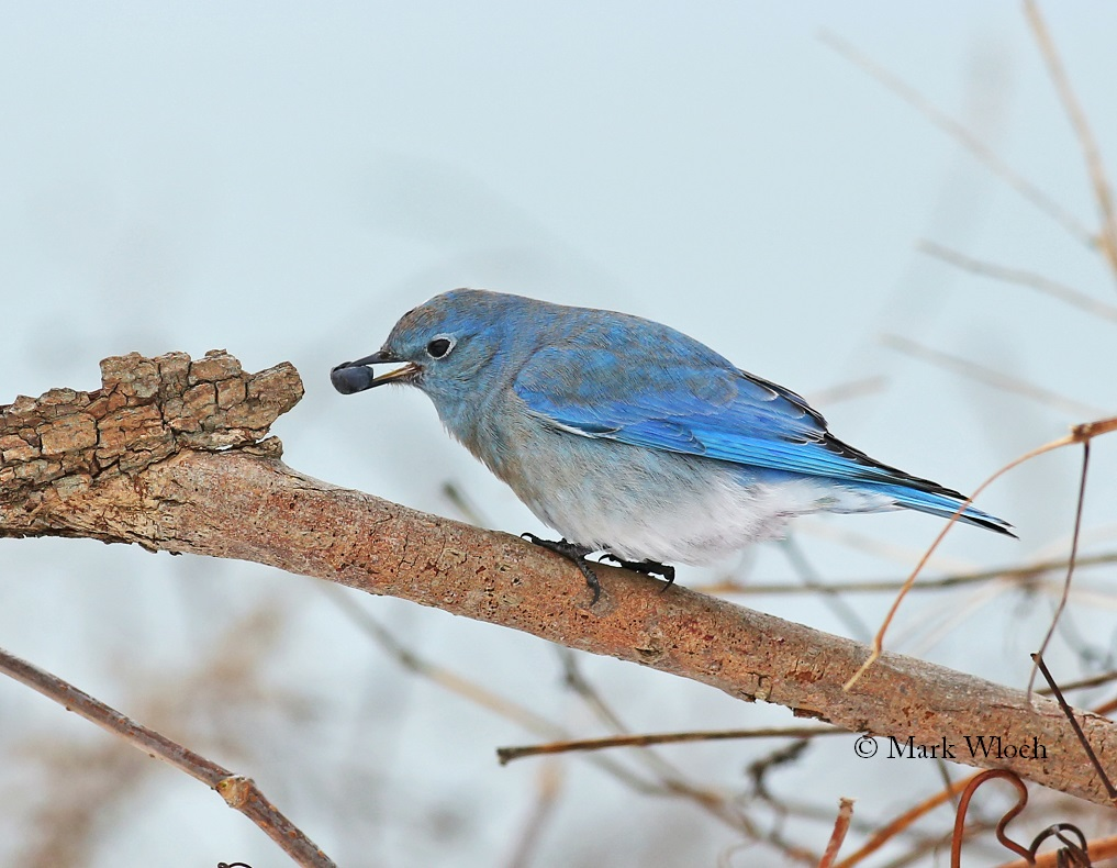 Bluebird Suet Cakes