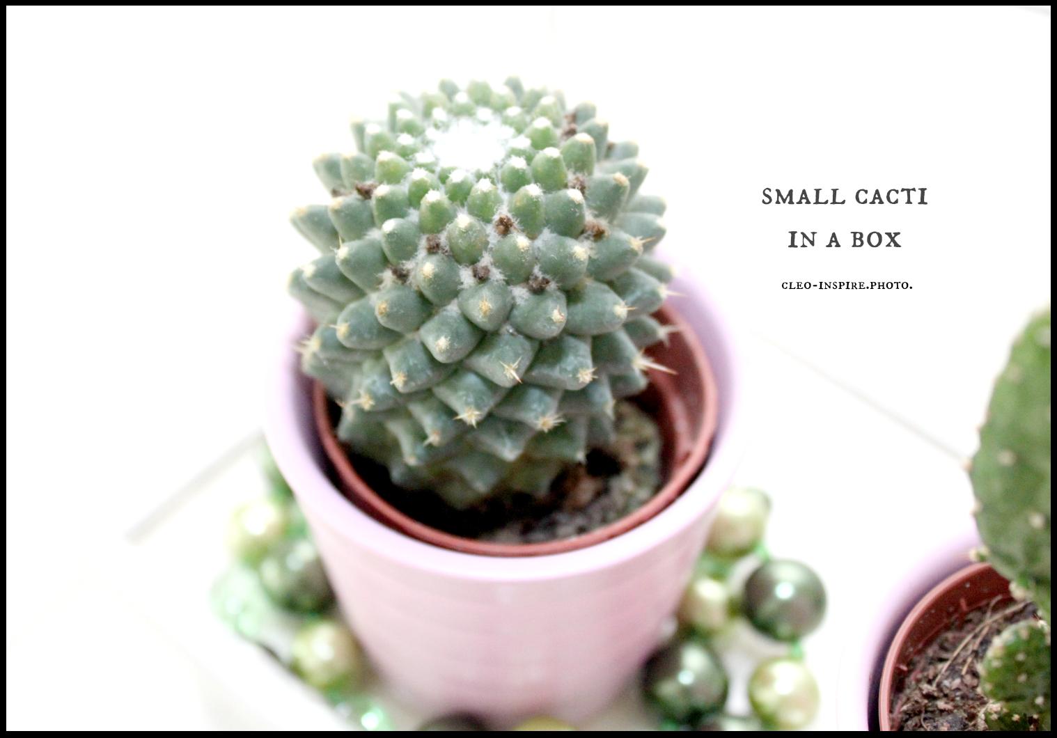 mały kaktusik