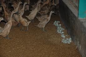 Cara Menetaskan Telur Bebek Dengan Cepat dan Benar