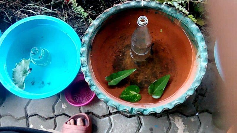 Image The Fight Against Breeding Betta Fish Thai Way