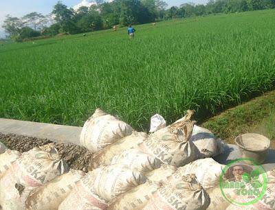 Pupuk kandang untuk tanaman padi admin