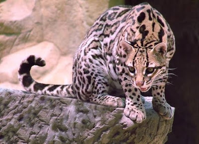 Ocelot - animals starting with O